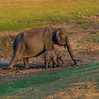 Habitats of the Indian elephant