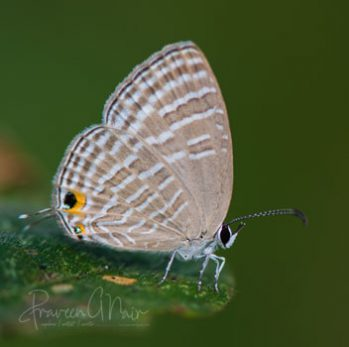 Jamides celeno or common cerulean