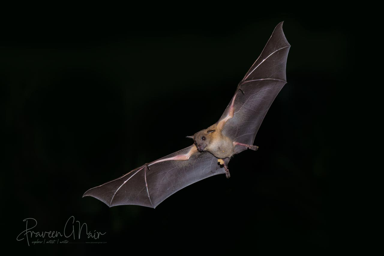 Short-nosed Indian fruit bat - Cynopterus sphinx - Flying