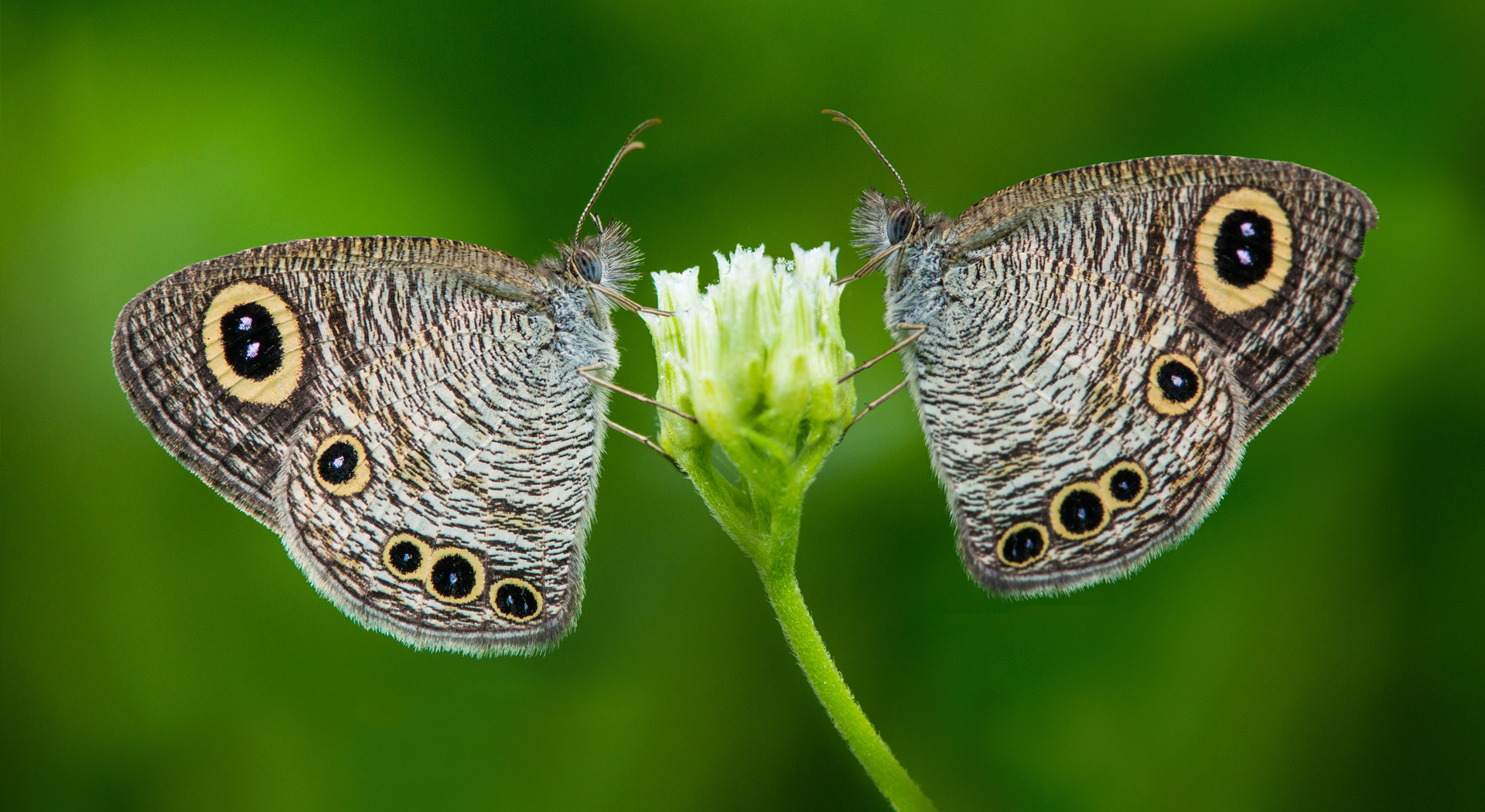Ypthima huebneri, Common Fourring, Satyrinae butterfly, butterfly found in India, Butterfly in Kerala, indian wildlife photographer, Wildlife Photographer, Wildlife Photography, Butterfly of kerala