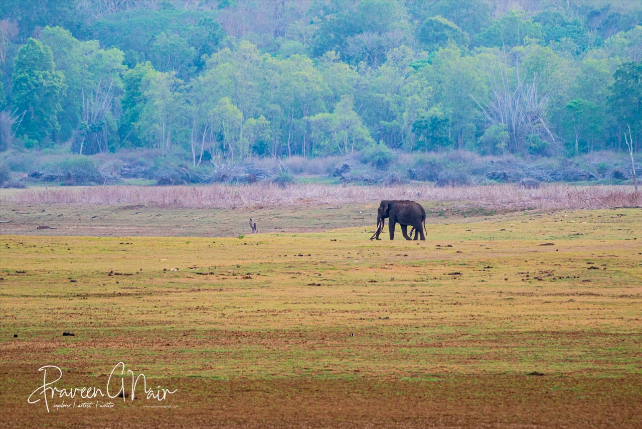 Indias one of the Mighty tusker in his habitat Nagarhole National Park