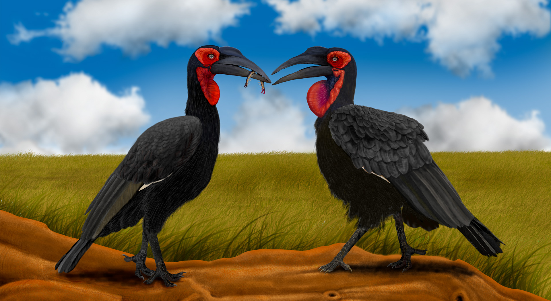 Southern Ground Hornbill, Bucorvus leadbeateri, Hornbill_Painting, Illustration, Birds_Illustration