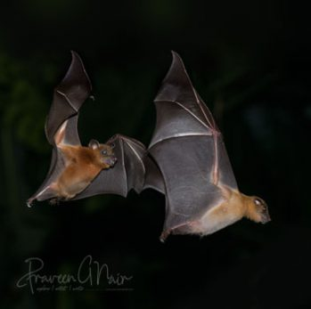 Short-nosed Indian fruit bat or Cynopterus sphinx