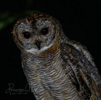 Mottled wood owl | Strix ocellata