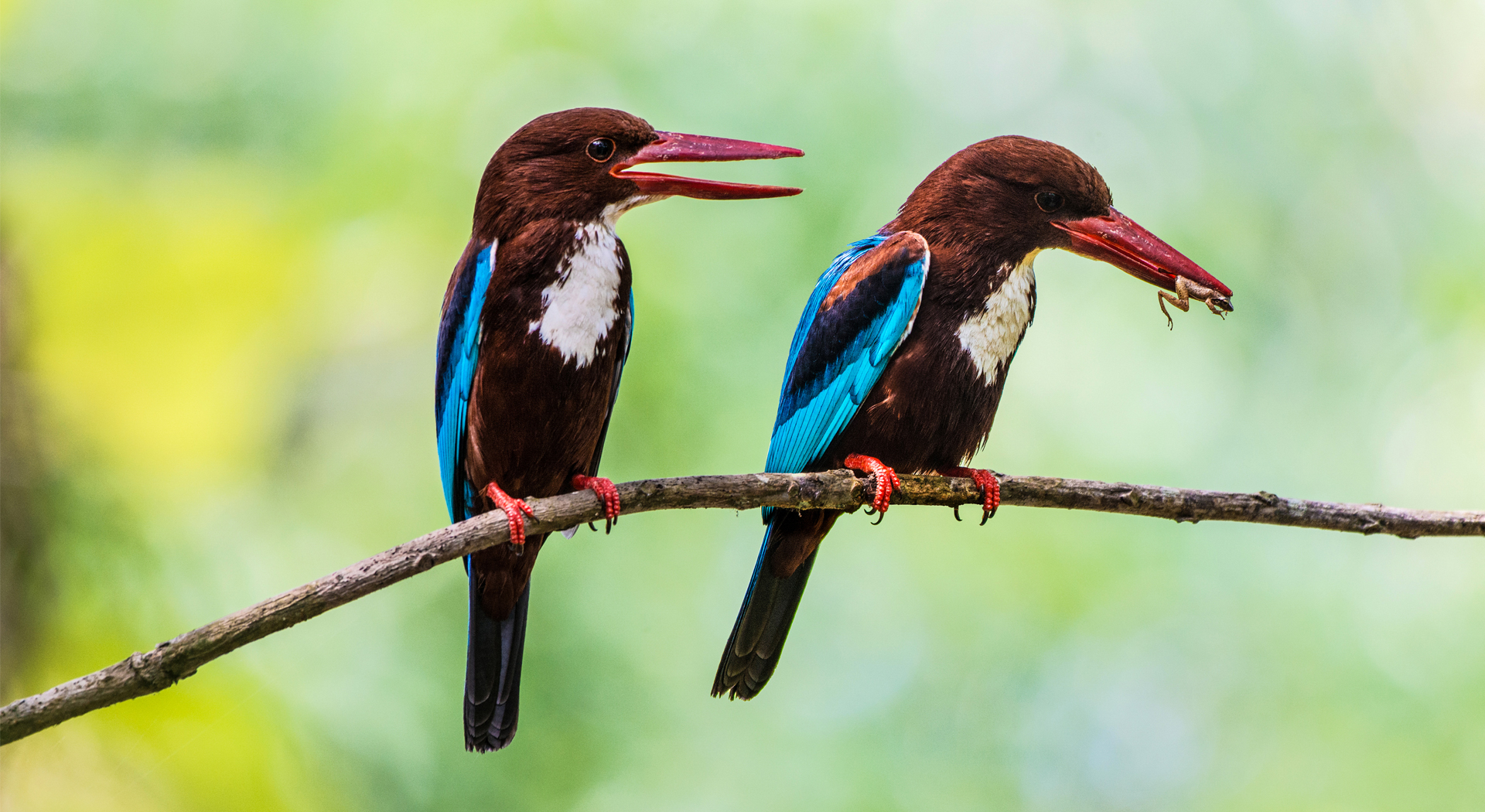 white-throated kingfisher, Halcyon smyrnensis, white-breasted kingfisher, Smyrna kingfisher, tree kingfisher, Birds, Birds found in India, Birds of Kerala, Birds in Kerala,
