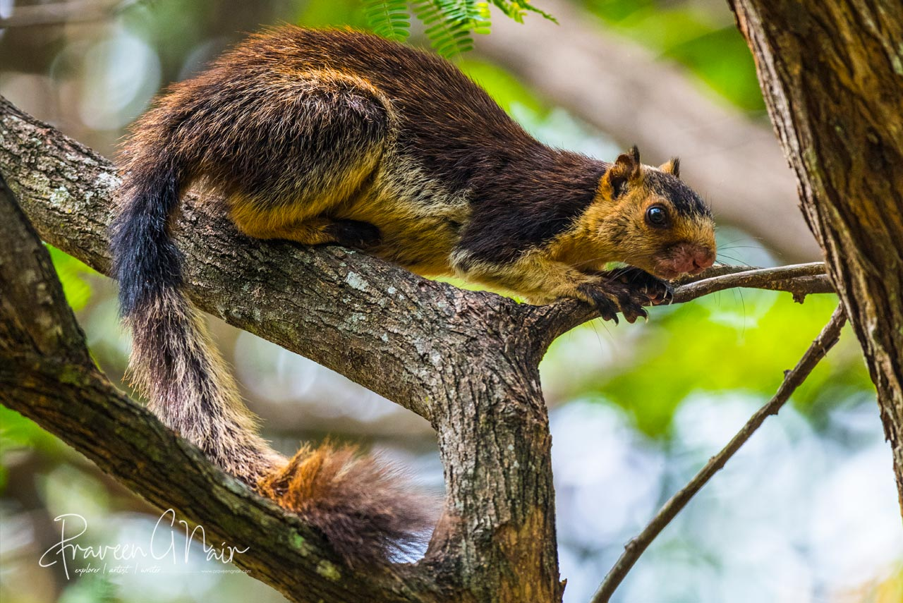 grizzled giant squirrel | Ratufa macroura