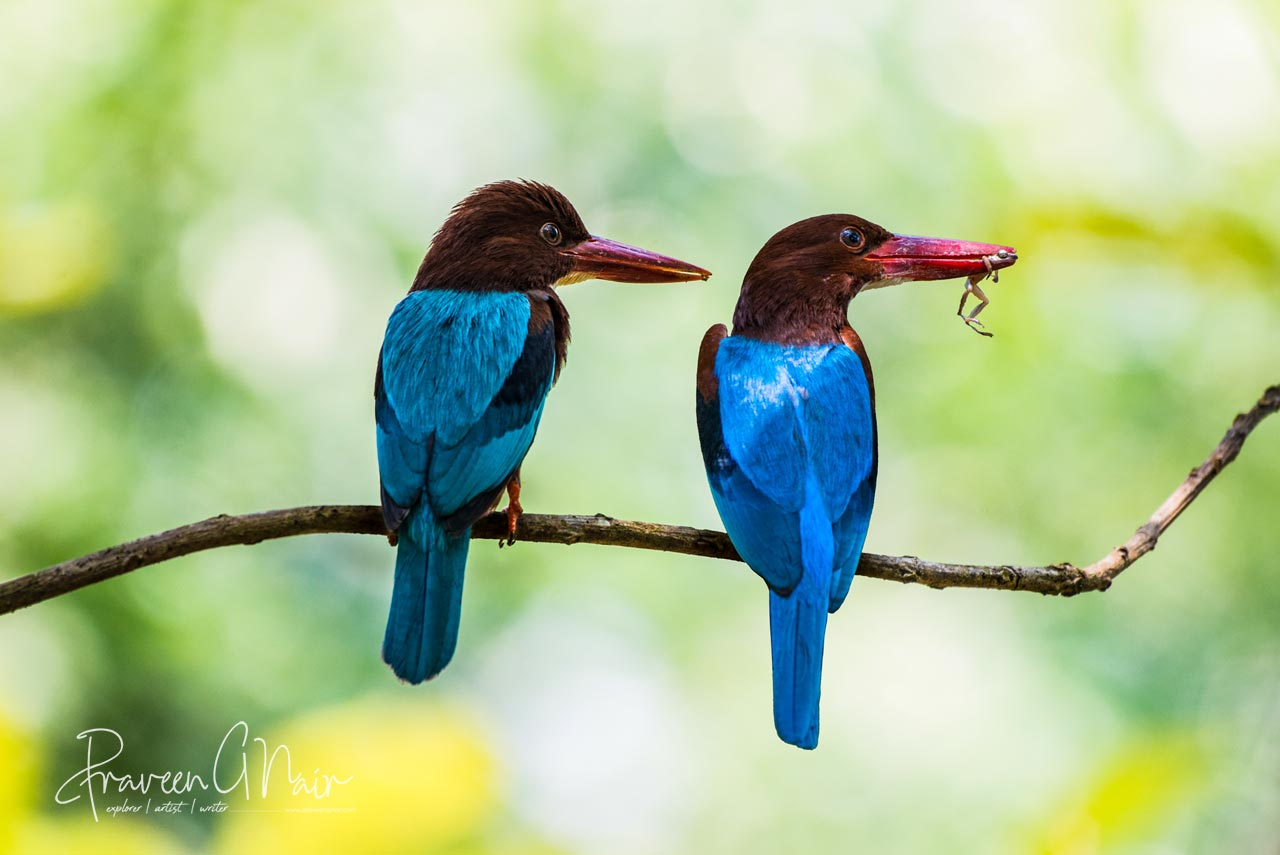 white-throated kingfisher | white-breasted kingfisher | tree kingfisher