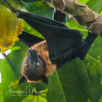 Indian Flying Fox or Greater Indian Fruit Bat