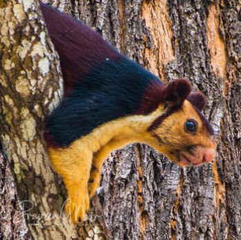 Malabar giant squirrel or Ratufa indica