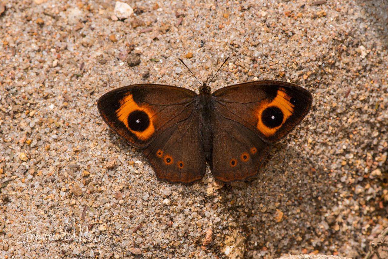 Mycalesis oculus, red-disc bushbrown