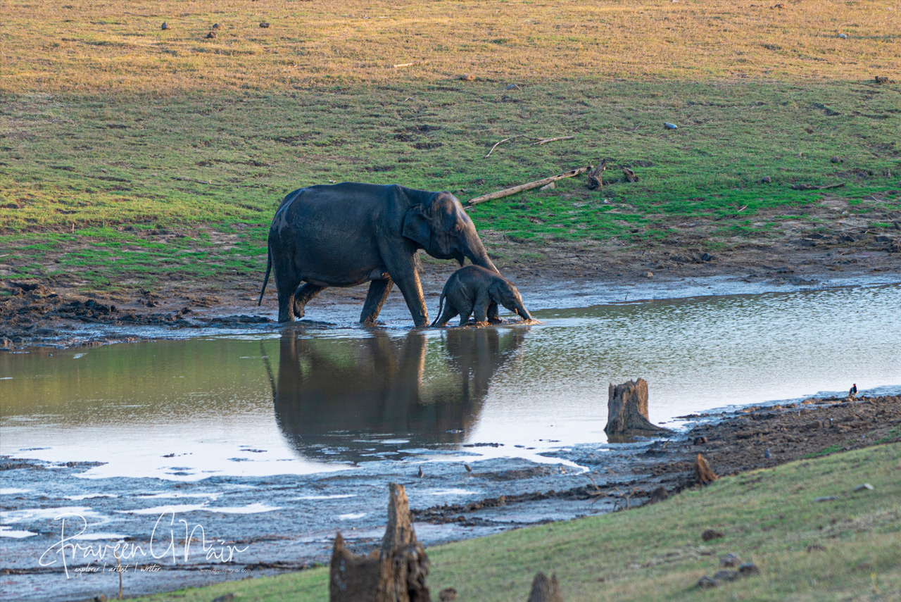 Indian elephant mother and cub searching water in Nagarhole National Park