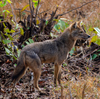 Indian golden jackals